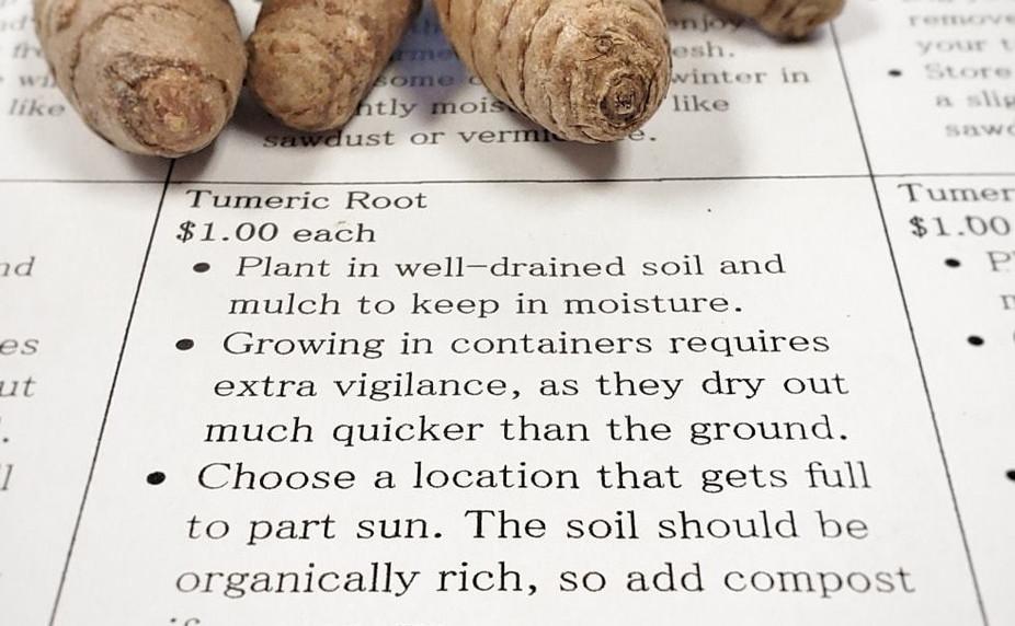 Fresh Tumeric for Planting