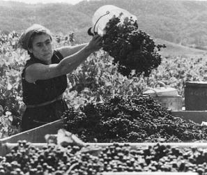 Barbara Winiarski harvesting the first grapes