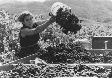 Barbara Winiarski harvesting the first grapes