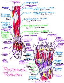 Posterior Forearm