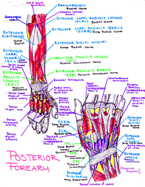 nerves of the posterior forearm
