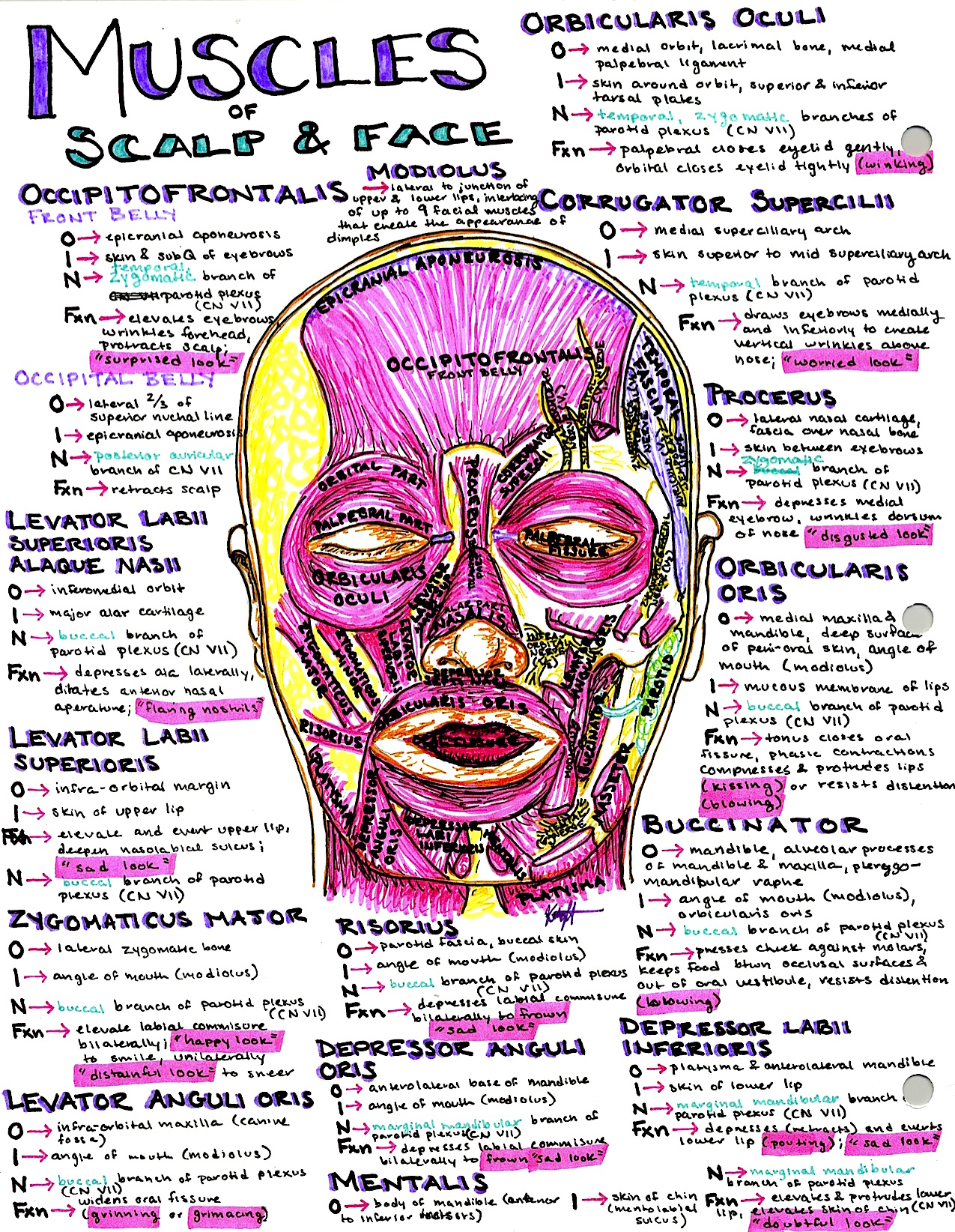 Hanson\'s Anatomy - The most vibrant med school notes & illustrations