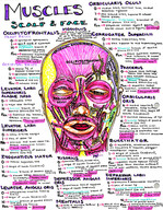 muscles of the scalp and face