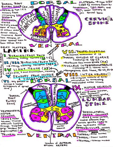 lamina and columns of the spinal cord