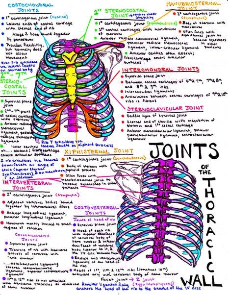 joints of the thorax, thoracic, ribcage