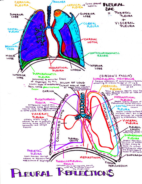 pleural reflections medical school note