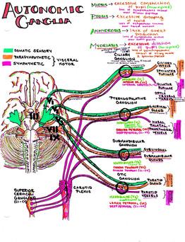 autonomic ganglia
