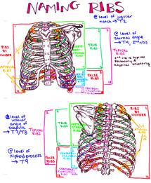 name ribs