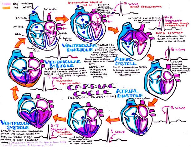 cardiac cycle, heartbeat