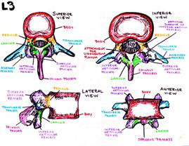 anatomy of the vertebrae