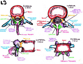 anatomy of the vertebrae