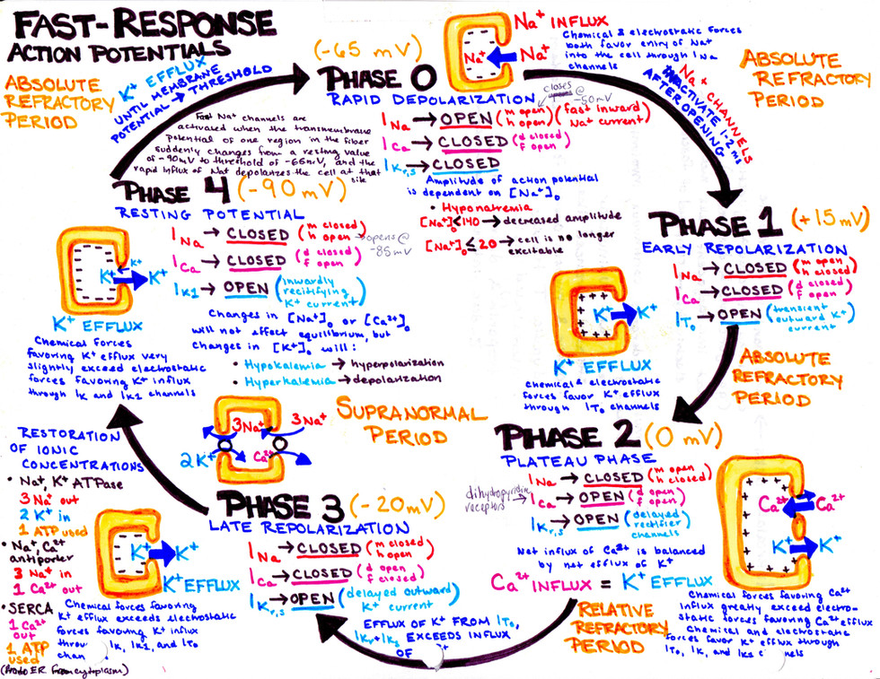 fast response action potentials