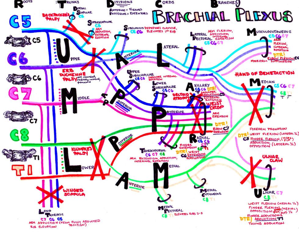 brachial plexus study guide