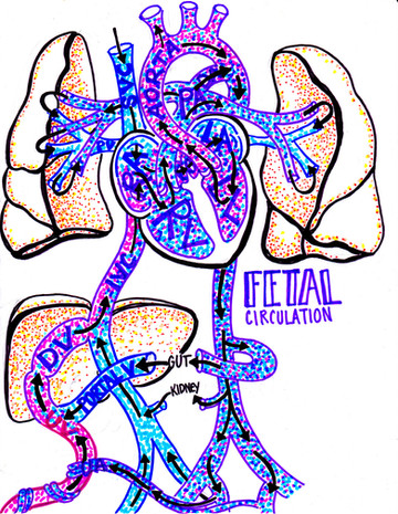 overview of fetal circulation