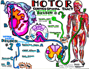 the motor system via the corticospinal tract