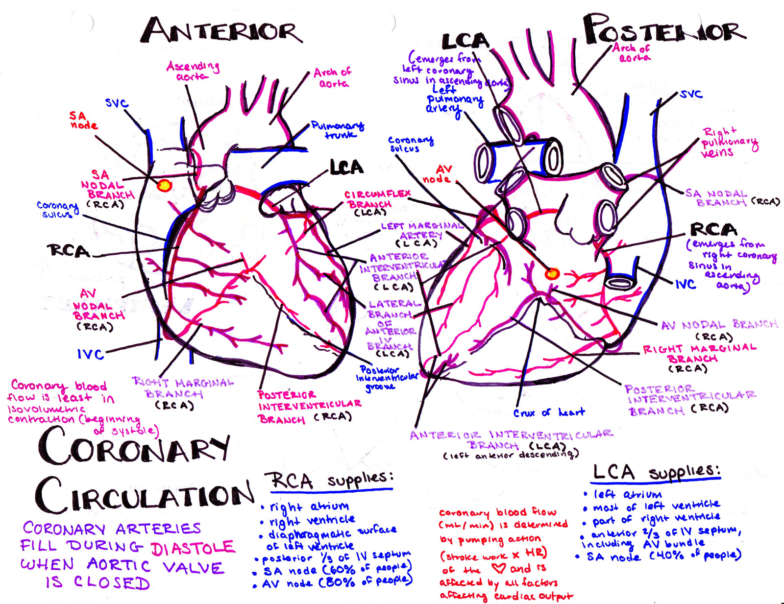 Hanson\'s Anatomy - The most vibrant med school notes & illustrations ...