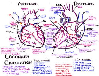 coronary circulation medical school study guide