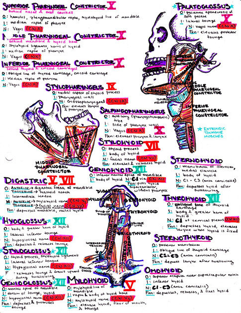 muscles of the throat, neck, and jaw