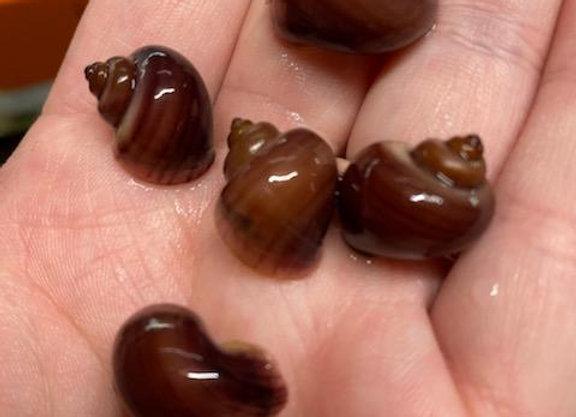Magenta Mystery Snails (Sm-Med)