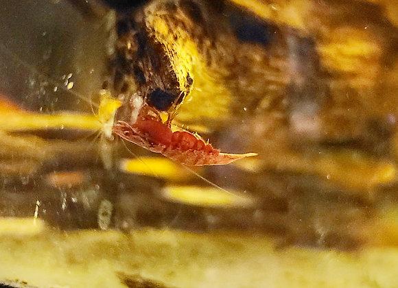 Fire Cherry Shrimp
