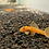 Thumbnail: Super Red Bristlenose