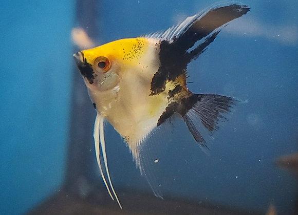 Koi Angelfish (Sm Med)