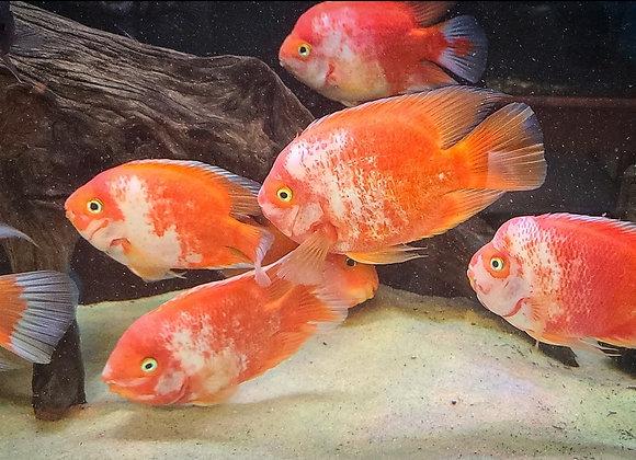 XL Red & White Parrots