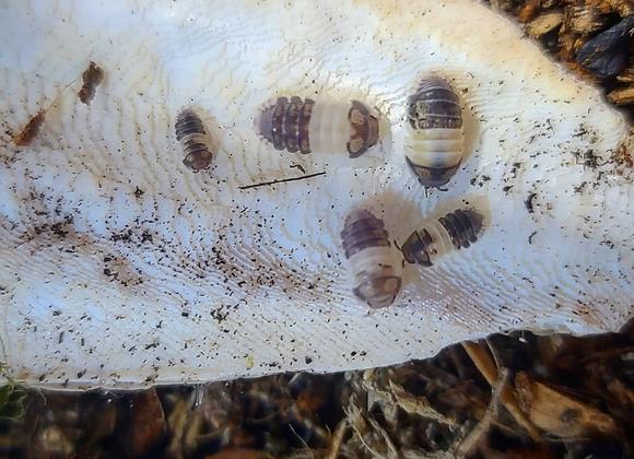 12 ct Cubaris Sp. Panda King Isopods