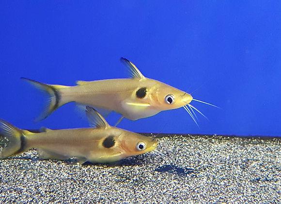 Gold Imperial Sun Catfish