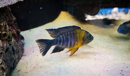 """Usisya Peacock (3.5"""")"""