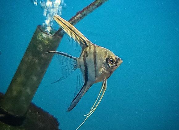 Assorted Angelfish   Koi   Veiltails (Sm)