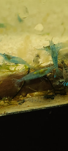 Light Blue Velvet Shrimp