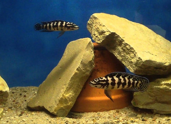 Julidochromis Transcriptus Gombes