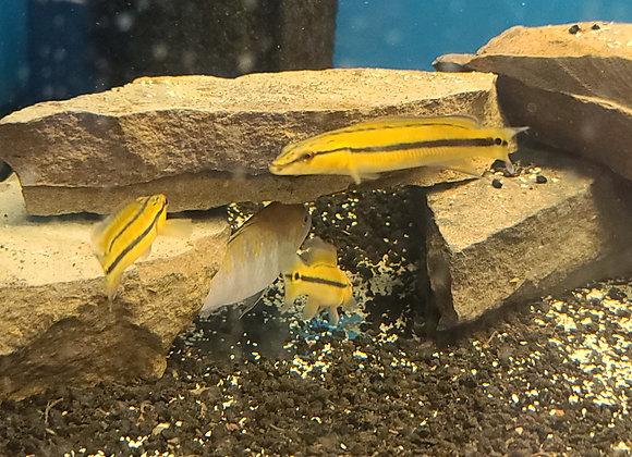 Orange Xingu Pike Cichlid (Sm)