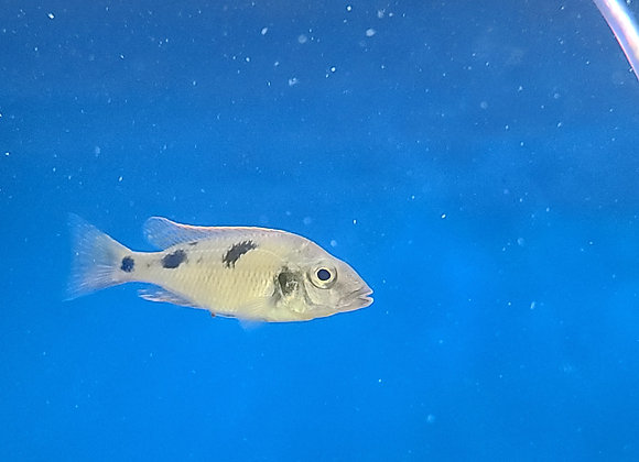 Otopharnynx Nova Blue Long Nose (Sm)