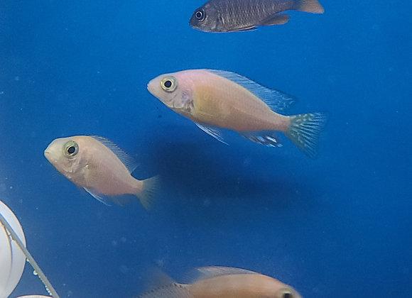 Albino Taiwan Reef