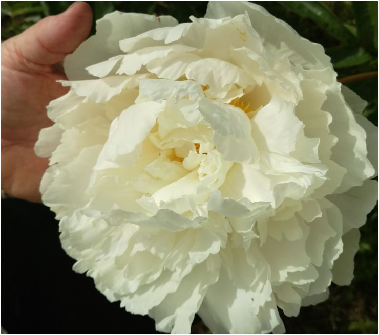Alaska Peony Bowl of Cream