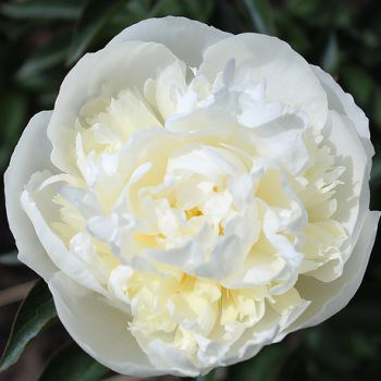 Alaskan Peony Bowl of Cream