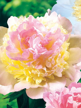 Alaska Peony Growers Association, Bride, Bridal Bouquet, F