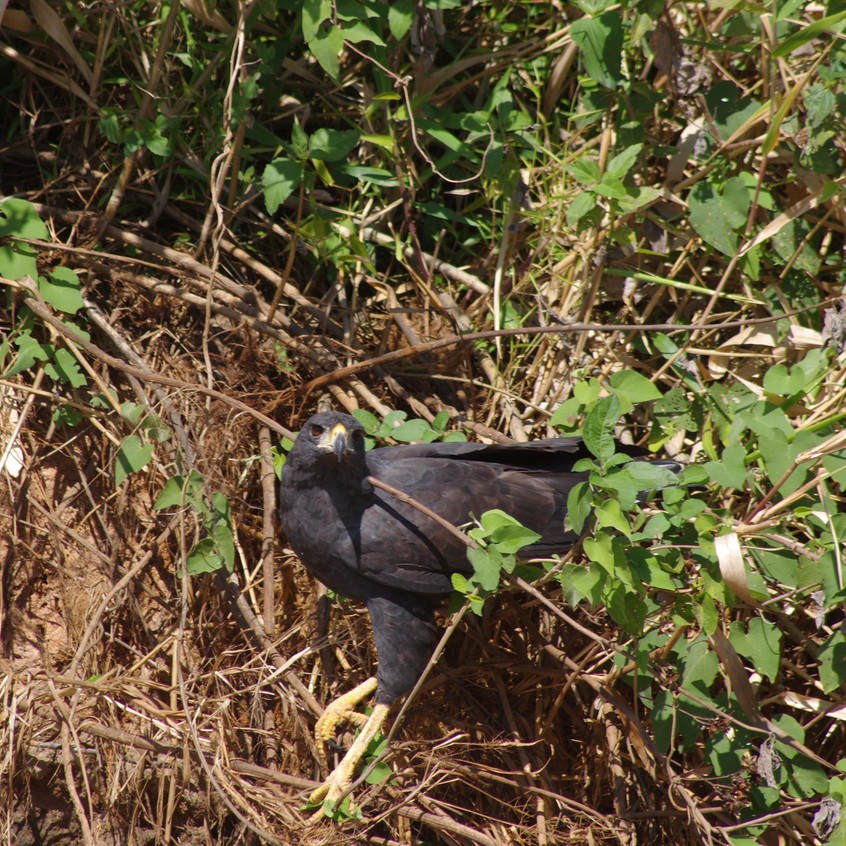 IMGP1612 Great Black Hawk