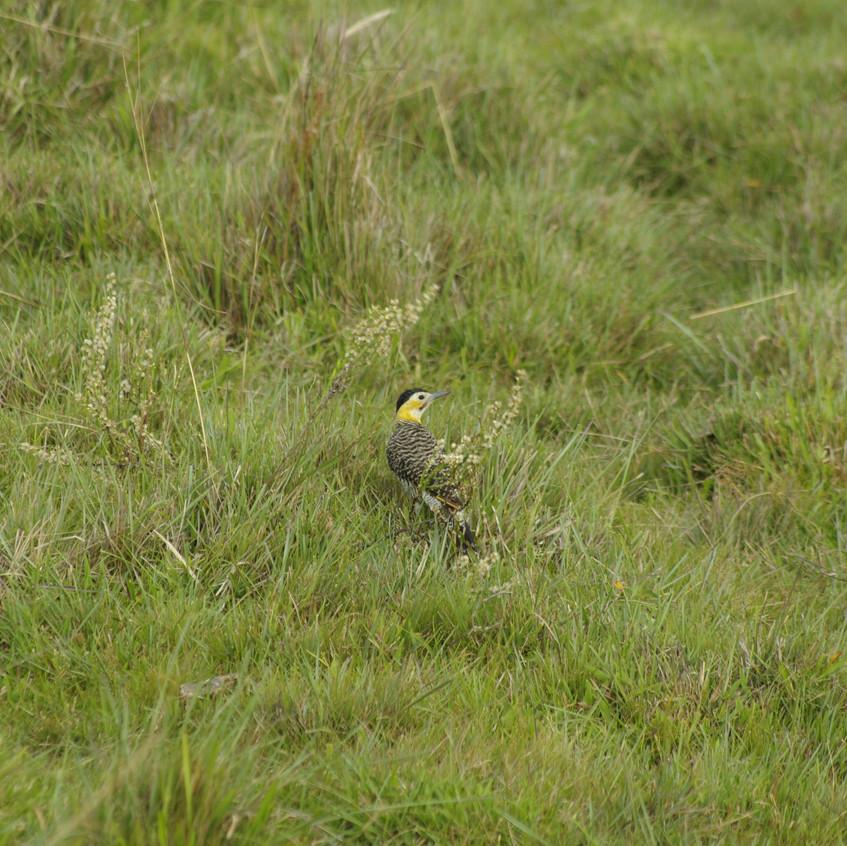 _IMG8994 Campo Flicker Woodpecker