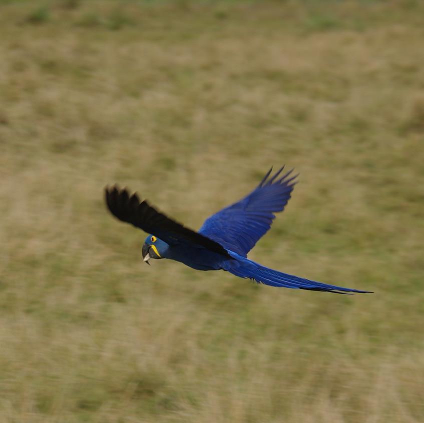 IMGP0772 Hyacinth Macaw