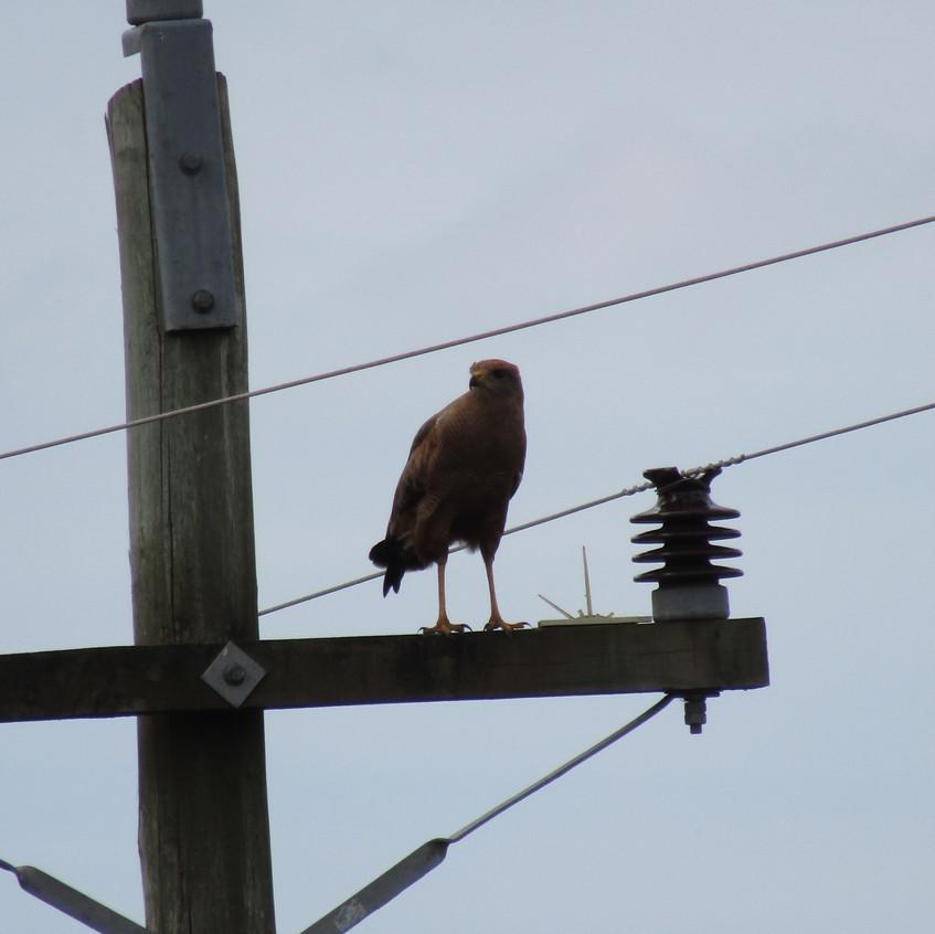 IMG_2601 Savanna Hawk