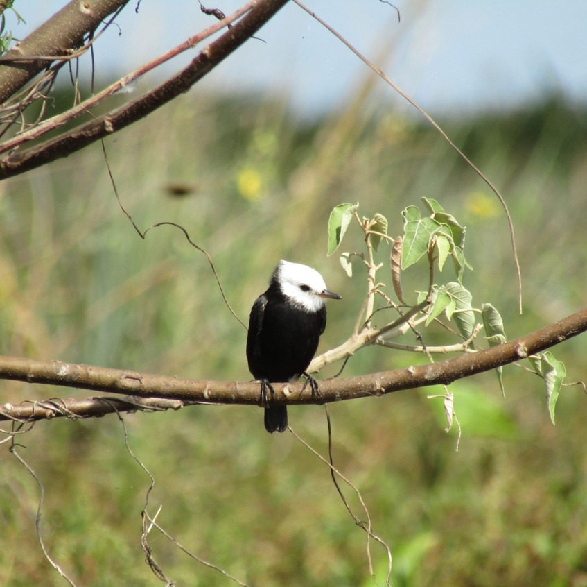 IMG_2725 White-headed Marsh-Tyrant