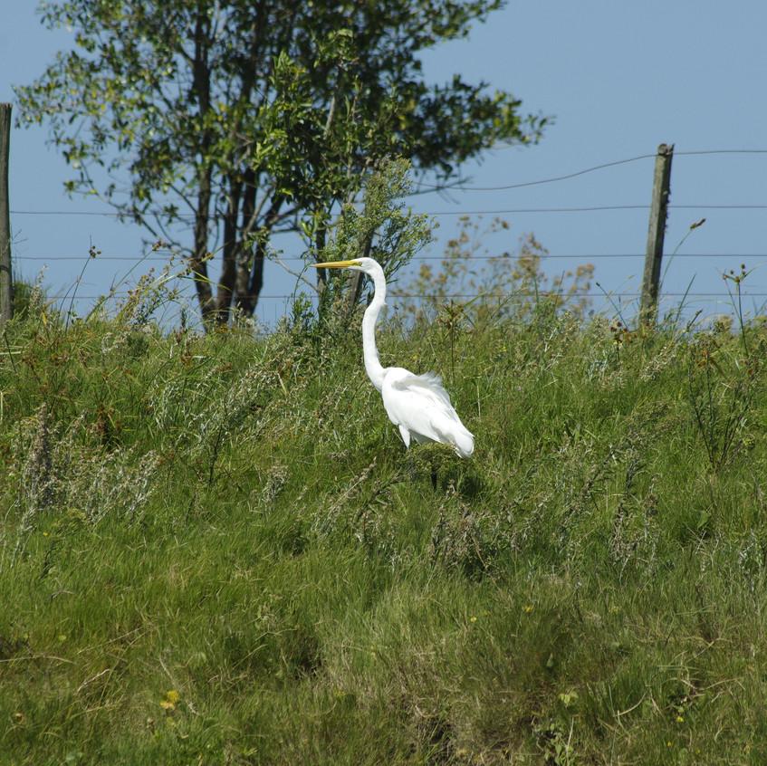 _IMG8780 Greater Egret
