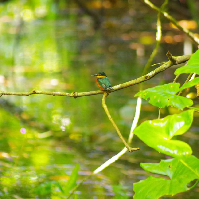 IMGP3780 American Pygmy Kingfisher