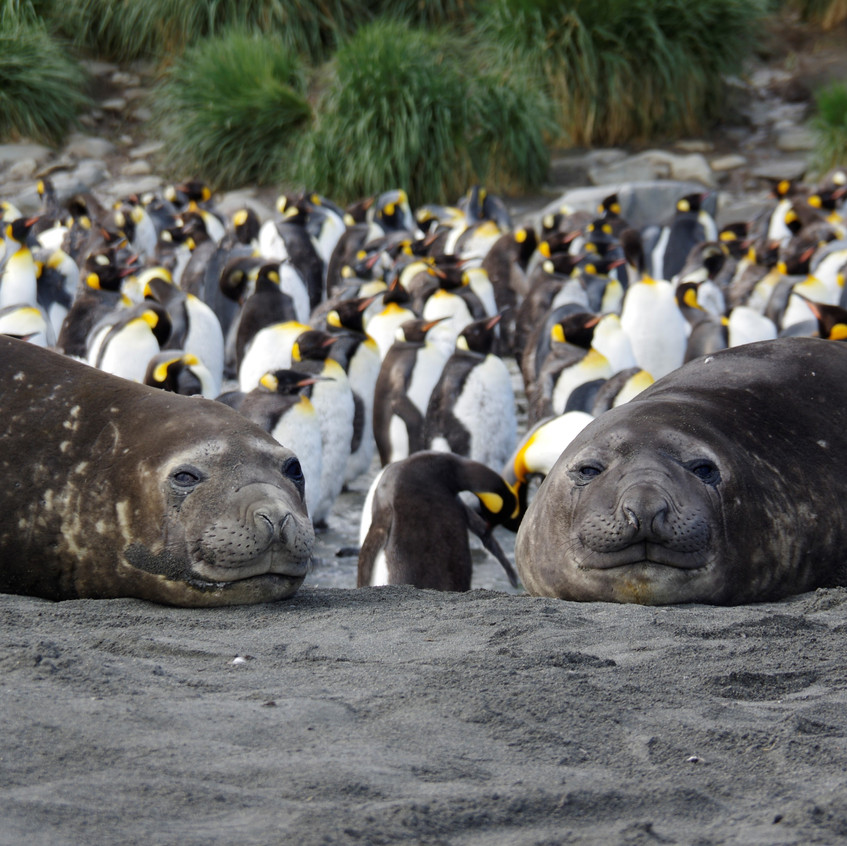20190127-Page-Elephant seals and Kings