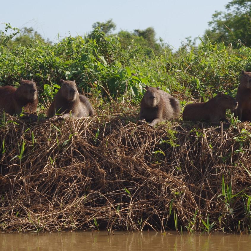 IMGP1562 Capybara