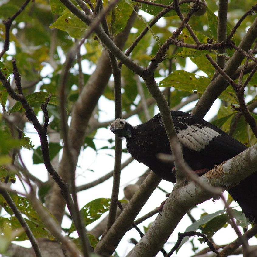 IMGP0458 - Blue-throated Piping Guan