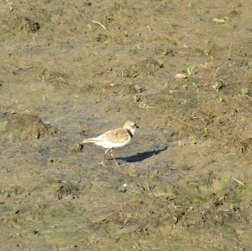 IMG_4302 Collared Plover
